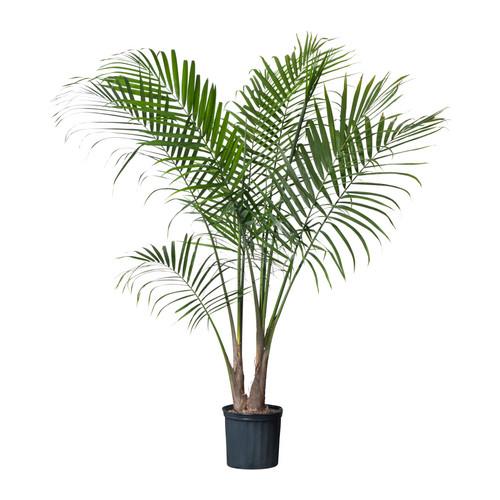 ravenea-potted-plant__0121015_PE277828_S4