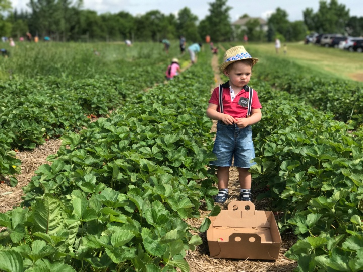 Strawberry picking at Bauer BerryFarm